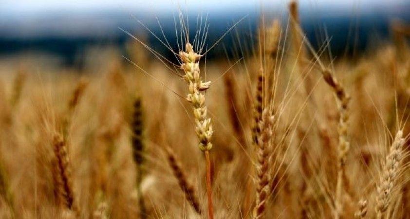 Edirne'de buğday 2,653 liradan satıldı