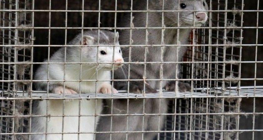 Danimarka'da hayvanlarda görülen vakalar nedeniyle 2,5 milyon vizon öldürülecek