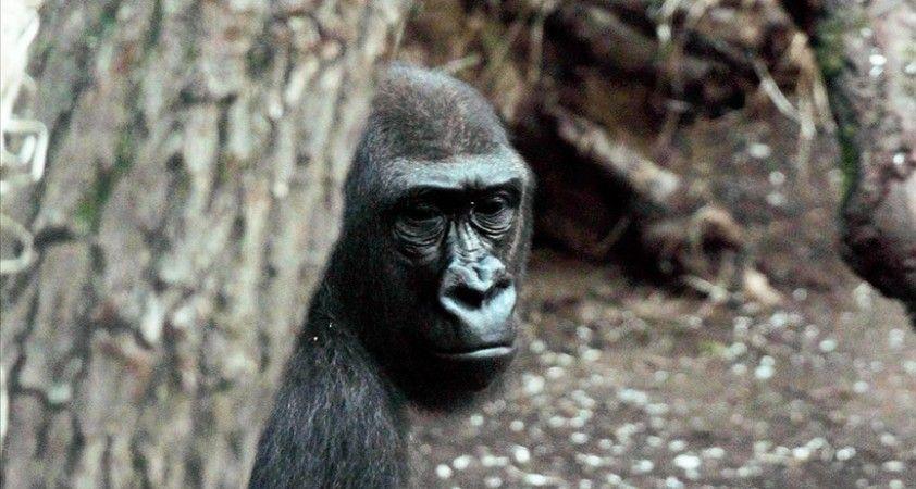 ABD'deki bir hayvanat bahçesindeki goriller Kovid-19'a yakalandı