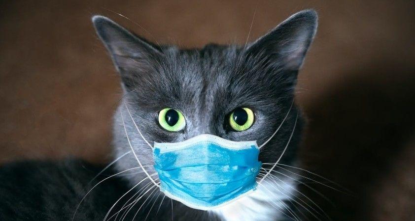 Covid-19 olan evcil kediyle ilgili makale Australian Veterinary Journal'da yayınlanmak üzere kabul edildi