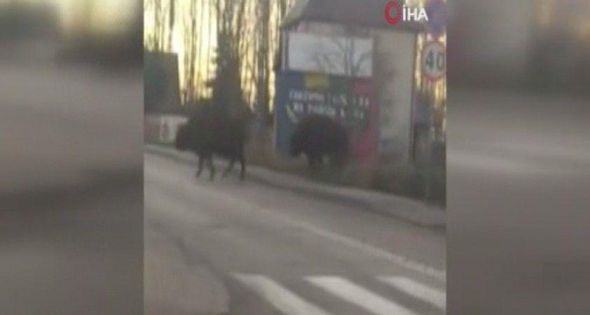 Polonya'da bizonlardan trafik dersi