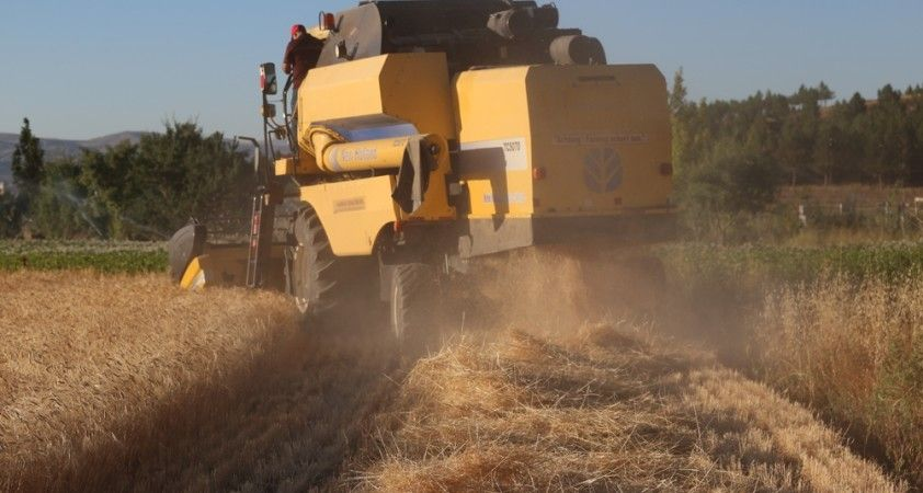 13 bin yıllık buğdayın ilk hasadı yapıldı