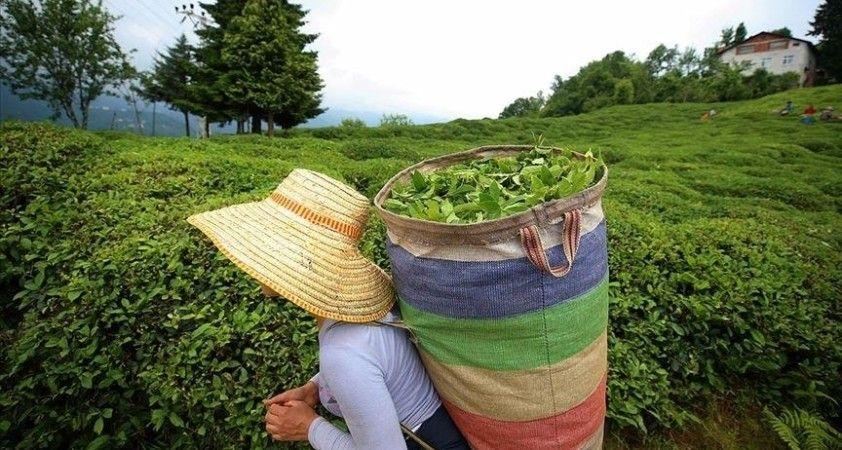 ÇAYKUR, tarihinin en yüksek rakamına ulaşarak yaş çay alımını sonlandırdı