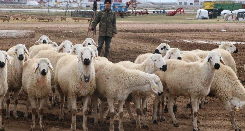 Türkiye'nin çobanları Orta Asya'dan
