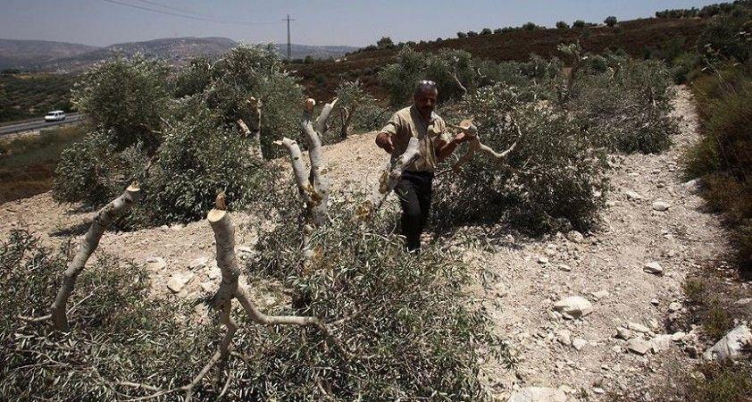 Yahudi yerleşimciler Filistinlilere ait 100 zeytin fidanını söktü